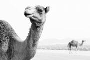 Oman /  [dromedaries.jpg nggid03705 ngg0dyn 180x0 00f0w010c010r110f110r010t010]